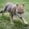 An orphaned Gray wolf pup found wandering along the side of a road in central Idaho now has a new home at Busch Gardens in Williamsburg, Virginia.  Continue reading for […]