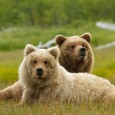 This post will contain all the official photos and releases from Disneynature's Bears to be released on Earth Day, 2014.  Prepare for a wild adventure with Disneynature's Bears, in theaters on […]